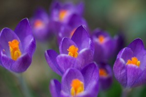 98936__crocuses-flowers-purple-spring-color-close-up_p